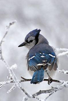 Blue Jay ❤