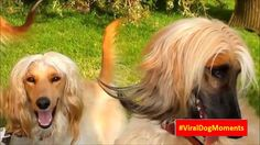 Afghan Hound Dog Review #ViralDogMoments