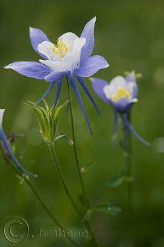 The blue columbine...now blooming in my garden 4-18-16