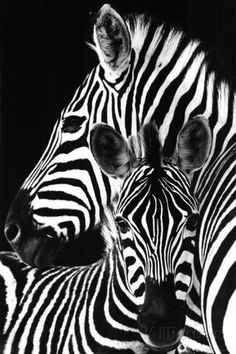 Zebra- Print - bij AllPosters.be