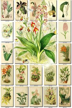 ORCHIDS-24 flowers Collection of 227 vintage images Orchidaceous butterfly pictures High resolution digital download printable Orchidaceae           data-share-from=listing        >           <span class=etsy-icon