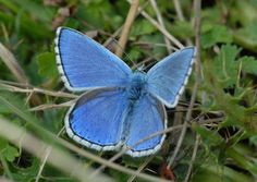 Adonis Blue / Photo: Phil Colebourn    http://www.cotswoldlife.co.uk/out-about/wildlife/conservation_success_returns_beautiful_butterfly_to_stroud_1_4200255