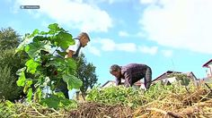 Pestovanie zemiakov v sene. Gardening, Youtube, Lawn And Garden, Youtubers, Youtube Movies, Urban Homesteading, Horticulture