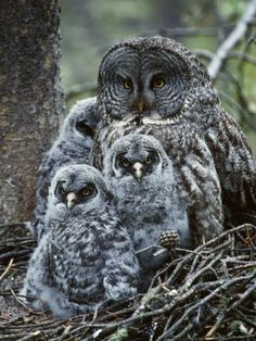Great Grey Owl  Her Chicks