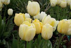 The Tulip Festival at Powerscourt Gardens, Ireland www.powerscourt.ie