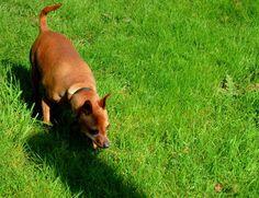 Minnie the smooth tailed fox! Corgi, Fox, Smooth, Animals, Corgis, Animales, Animaux, Animal, Animais