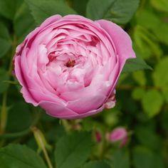 ~Bourbon Rose: Rosa 'Reine Victoria' AKA (France, 1872)