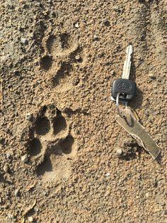 Wild dog footprints, Selous