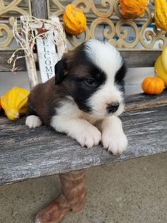 Breed: Saint bernard Gender: Male Registry: AKC Personality: friendly Date Available: Nov 19 2020 Meet Mac, a bundle of cuteness right to the core. Born in New haven, Mac entered the world on 2020-09-25 and is a Saint bernard puppy who sports a beautiful brown white coat. This fur-ball is excited to meet the familyRead More The post Mac appeared first on VIP Puppies - Puppy Finder - Puppies for Sale & Puppies for Adoption. If you've enjoyed this post, be sure to follow VIP Puppies on…