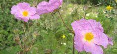 Rock Rose, Cistus incanus - image taken on 30 March on the slopes of Mount Carmel, Israel. Flowers Name List, Flower Names, Green Traffic Light, Rain Lily, Rock Rose, Rose Of Sharon, Alternative Treatments, Black Eyed Susan, Flower Quotes