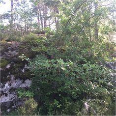 Serviceberry (amelanchier): Amelanchier (/æməˈlænʃɪər/ am-ə-LAN-sheer), also…