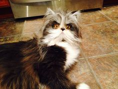 Atchoum the cat that looks like an evil scientist. #Cute