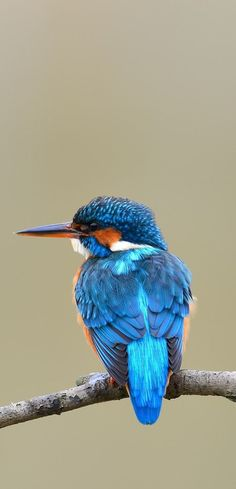 A kingfisher photo from the rear. A kingfisher photo from the rear. Small Birds, Little Birds, Colorful Birds, Exotic Birds, Kingfisher Tattoo, Kingfisher Bird, Common Kingfisher, The Yellow Birds Movie, Pretty Birds