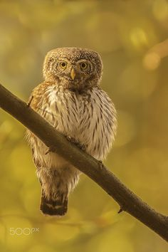 Pygmy owl by Erik Müller - Photo 163025385 - Popular Photography, Animal Totems, Animals Of The World, Kingfisher, Old World, Eagles, Owl, Birds, Pets