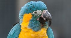 Rare Blue-Throated Macaw on Brink of Extinction Could Be Making a Comeback http://www.wideopenpets.com/rare-blue-throated-macaw-could-be-making-a-comeback/