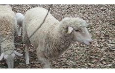 20 koyun 22 kuzu 5 saanen keçi ve 2 oğlak