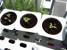 베란다에서 파슬리 키우기 4주차 본잎 parsley