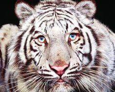 White Tiger Eyes - Cross Stitch Chart