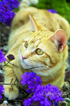 """""""There is, incidentally, no way one can speak of cats and come off as a sane person."""" --Dan Greenberg ~just so you know~ Pretty Cats, Beautiful Cats, Animals Beautiful, Cute Cats, Cute Animals, Yellow Cat, Mellow Yellow, Baby Cats, Cats And Kittens"""