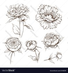 Hand drawn peony flowers set. Download a Free Preview or High Quality Adobe Illustrator Ai, EPS, PDF and High Resolution JPEG versions.