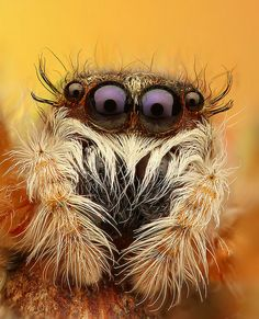 """Who are you callin' four-eyes?""Jumping Spider (Mendoza Canestrinii) ~ By Juraj Komar Beautiful Creatures, Animals Beautiful, Cute Animals, Beautiful Bugs, Amazing Nature, Reptiles, Spiders And Snakes, Wolf Spider, Itsy Bitsy Spider"