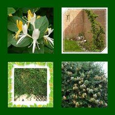 Madreselva Muy utilizada en los frentes de las casas con cercos por su delicadeza y fragancia de las flores.