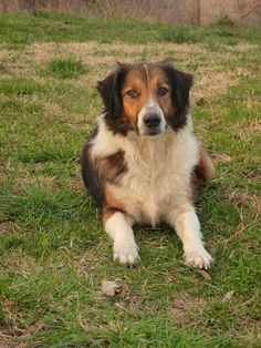 Butcher's DJ | Old-Time Scotch Collie Pedigree Database