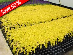Lysimachia or Creeping Jenny is a fast growing ground cover