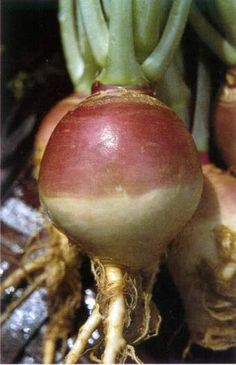 Rutabaga with roots and top