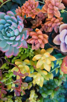 the colors of crassulaceae by flora-file, via Flickr