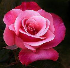Rose 'Love Me Tender'