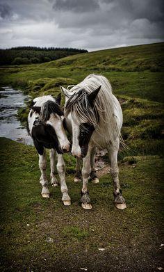 Tumble horsesornothing:    Horses on Bodmin Moor by mplatt86 on Flickr.