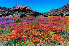 Vibrant colors from Goegap Nature Reserve, South Africa Flowers Nature, Wild Flowers, Beautiful Flowers, Beautiful Places, Desert Flowers, South Afrika, Garden Of Earthly Delights, California Garden, Champs