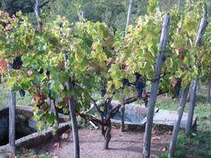 #TerroirItaly #Boca #Piemonte #LePiane #vineyard