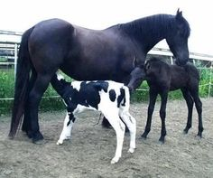 That one is a calf! Those are not twin foals! Farm Animals, Animals And Pets, Funny Animals, Cute Animals, All The Pretty Horses, Beautiful Horses, Beautiful Cats, Funny Horses, Baby Horses