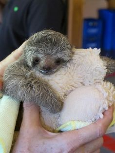 baby sloths need to be burped too! #sloths #awesome #dyingofcuteness