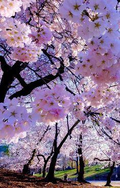 43 Ideas Sakura Tree Art Wallpaper For 2019 Beautiful Nature Wallpaper, Beautiful Landscapes, Flowers Nature, Spring Flowers, Spring Tree, Belle Photo Nature, Sakura Cherry Blossom, Japanese Cherry Blossoms, Blossom Trees