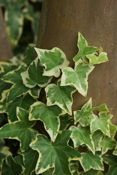 Goldchild Ivy (Hedera helix 'Goldchild') is a beautiful gold variegated ivy with evergreen leaves. Grows to lengths of 9 inches long and can be trained to trail over edges of containers or climb on a trellis. Hedera Helix, Ivy Plants, Garden Plants, Potted Plants, Ivy Plant Indoor, Lagerstroemia, Plants Are Friends, Tropical Plants, Shade Garden