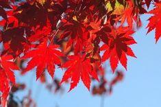 단풍나무 종류와 특징