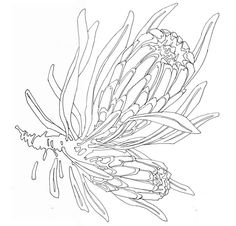 Native Canvas - Myall Creek to ReconciliationA Shared History Protea Art, Protea Flower, Flower Sketches, Drawing Sketches, Botanical Drawings, Botanical Art, Australian Native Flowers, Simple Line Drawings, Floral Drawing