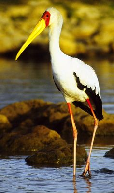 Yellow Billed Stork (Mycteria ibis) found in Africa south of the Sahara and Madagascar