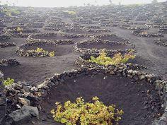 Viñas (Vineyards), Lanzarote, Las Islas Canarias (the Canary Islands), Spain