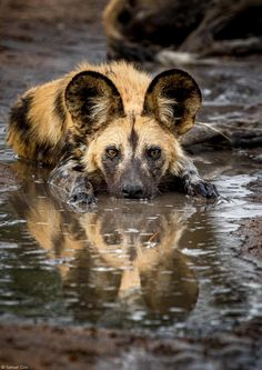 An African wild dog (Lycaon pictus) takes a short break from running in the harsh summer heat, in a muddy puddle at the Klaserie Private Nature Reserve in South Africa © Samuel Cox Wild Animals Photography, Wild Photography, Wildlife Photography, African Hunting Dog, African Wild Dog, Hunting Dogs, Nature Animals, Animals And Pets, Cute Animals