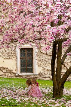 ***Magnolia blossoms (Trentino, Italy) by ernesto patricolo E