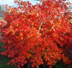 omure yama maple | ... maple almost weeping willow like when young omure yama grows rather