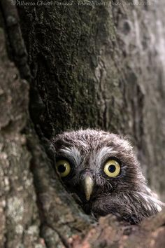 Owl by Alberto Ghizzi Panizza on He looks a little crazy! Beautiful Owl, Animals Beautiful, Cute Animals, Owl Bird, Pet Birds, Nocturne, Owl Photos, Owl Pictures, Monty Python