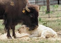 Image result for white buffalo photo