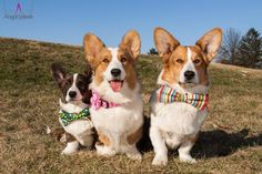 The Daily Corgi: Time To Get Your Cardigan Welsh #Corgi On!
