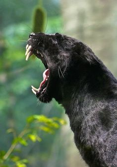 Since the 1960′s it has been considered politically incorrect to call a black cat a black panther. The big black cats are black leopards or black jaguars and are not referred to as black panthers by anyone who knows anything about big cats.