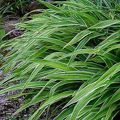 I love these broad leaved sedges... Carex siderosticata variegata